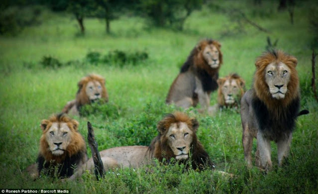 Male lions in a coalition. Photo: Daily Mail. These are black maned lions. The dark mane is attractive to females.