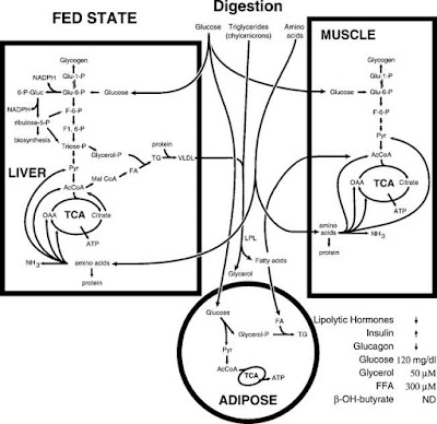 metabolic flow during the fed state