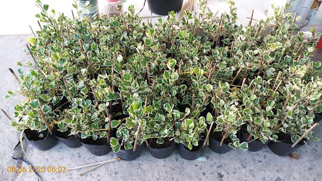 50 cây si Thái cẩm thạch trồng chậu C8