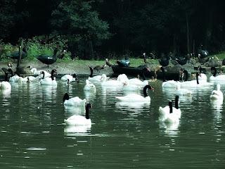 Patos em Lago do Parque Zoológico de Sapucaia