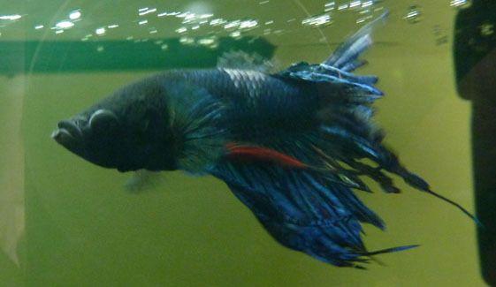 Cara Mengobati Ekor Ikan Cupang Yang Rusak