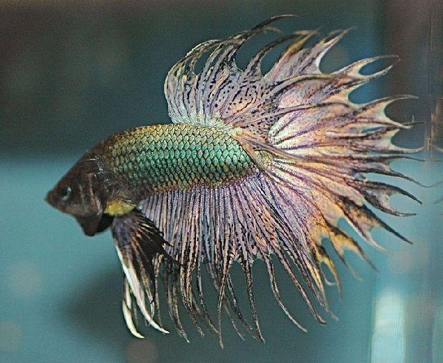 Warna Dasar Ikan Cupang Hias