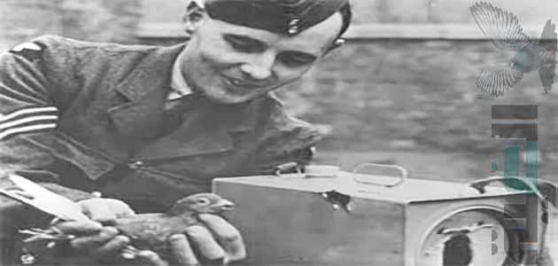 انثي الحمام الزاجل ماري اكستر التي هزمت الصقور في الحرب العالمية الثانية