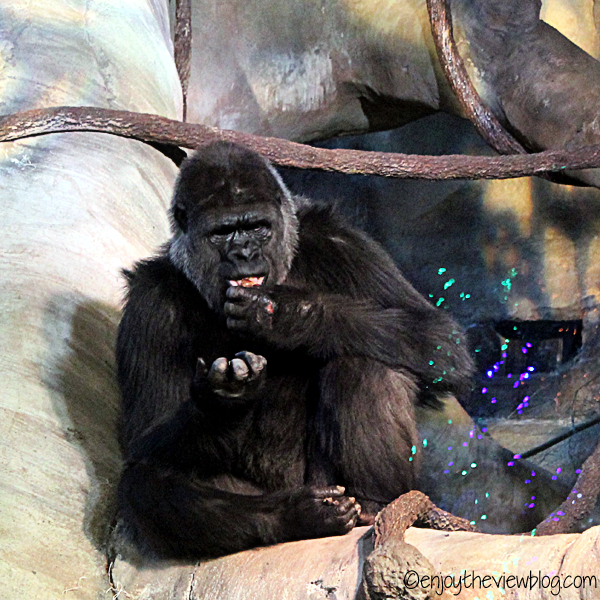 Female gorilla sitting in a tree eating