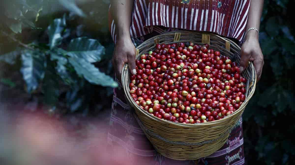 Qual a origem do café