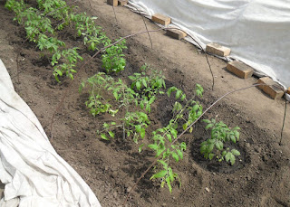 Рассада помидоров высажена