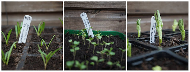 first seedlings - a Stubborn Optimist blog - C.Gault