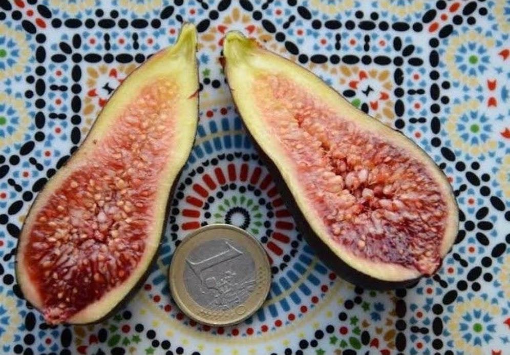 Bibit buah tin langka jenis CITRULARA fresh cangkok tin Sumatra Barat