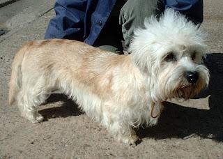 Dandie Dinmont Terrier-pets-dogs-dog breeds