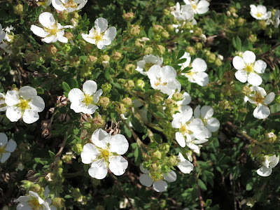white-flowered shrubby cinquefoil Dasiphora fruticosa