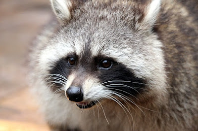 HOW SMART ARE RACCOONS ? Interesting Facts I Bet You Never Knew About !