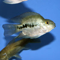 Aninimal Book: Flowerhorn The Hybrid Cichlids: About Blood Parrot