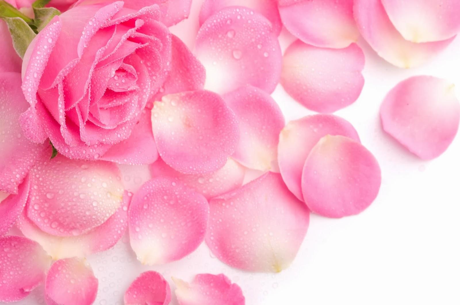 All 4u Hd Wallpaper Free Download Beautiful Pink Rose Wallpapers