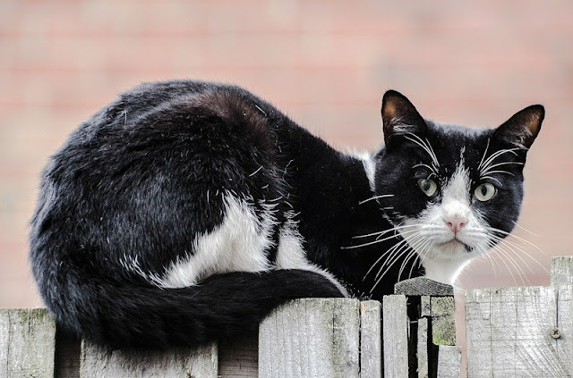 Domestic cat looks disdainfully at photographer