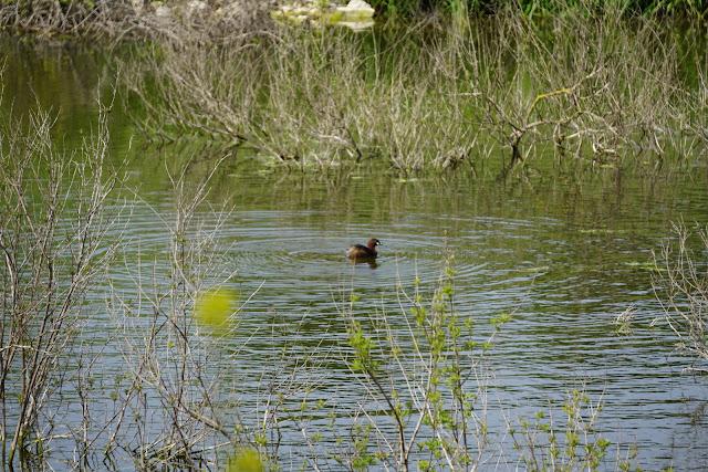 מאגר גלעד עופות מים