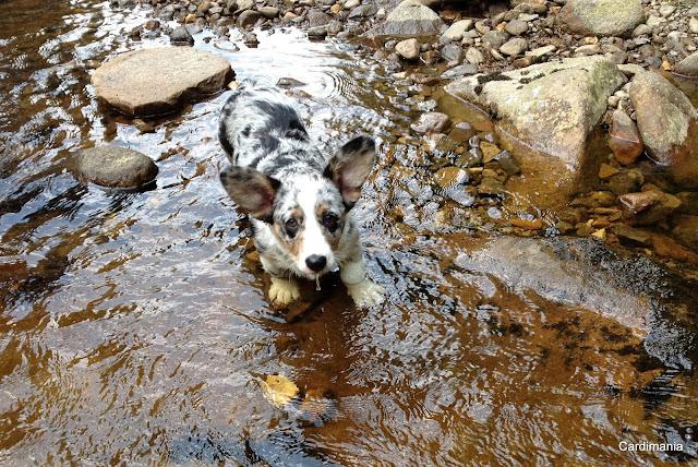 pies, podróże, podróże z psem, pies w podróży, pies w górach, w góry z psem, wakacje, wakacje z psem, z psem na wakacje, welsh corgi, welsh corgi cardigan, corgi, cardigan, blue merle, beskidy, w beskidach z psem, na szlaku, na szlaku z psem, biba, yuma, twiggy, w drodze na szczyt, szczyt
