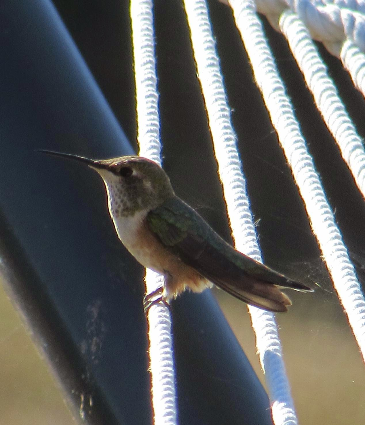 A Rufous Hummingbird Perched On Our Hammock