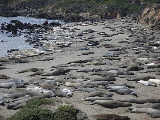 elefante marinho roadtrip california