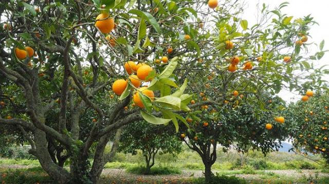 Ciri Ciri Pohon Jeruk