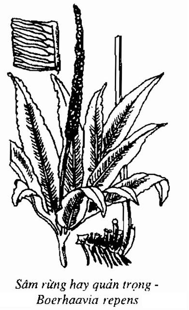 HÌNH VẼ SÂM RỪNG - Boerhaavia repens - Nguyên liệu làm Thuốc Bổ, Thuốc Bồi Dưỡng