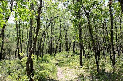 Bosques de rebollos en la Hoz de Carboneros