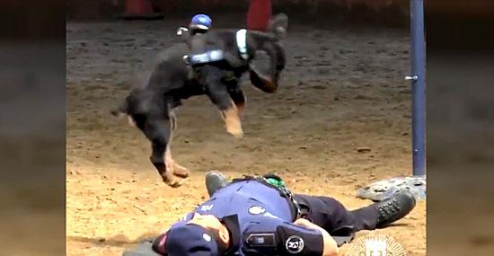 Vídeo de cãozinho salvando policial toma conta da internet - Capa