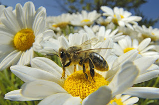 Registra México 46 especies nativas de abejas sin aguijón