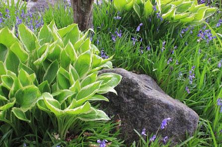 Hosta Plant alongside Rock
