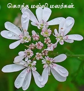 Coriandrum_sativum_flower