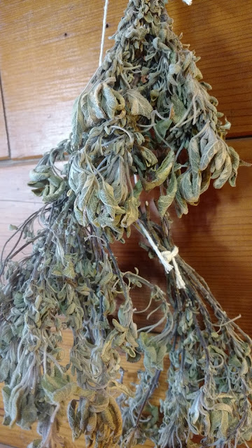 Golden Sage - drying