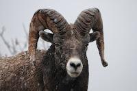Ram Photo by Paxson Woelber on Unsplash