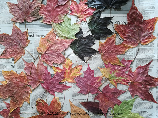 Colorful dried maple leaves, pressed dried leaves, autumn leaves arts and crafts