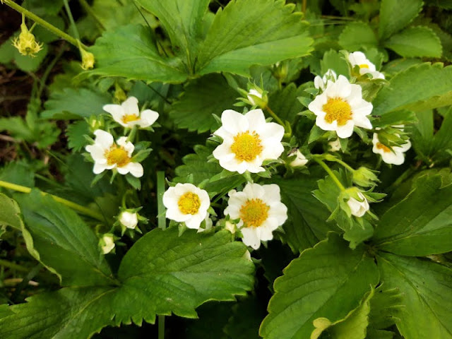 White strawberry flowers amongst green leaves