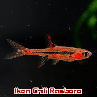 Ikan Hias Aquascape Chili Rasbora