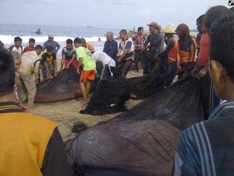 Nelayan Tradisional Abdya Panen Udang Sabu