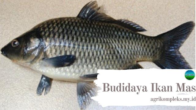 Bila dalam membicarakan tentang tujuan orang budidaya ikan Cara Budidaya Ikan Mas Di Kolam Terpal