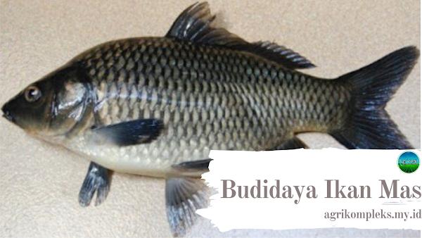 Cara Budidaya Ikan Mas Di Kolam Terpal