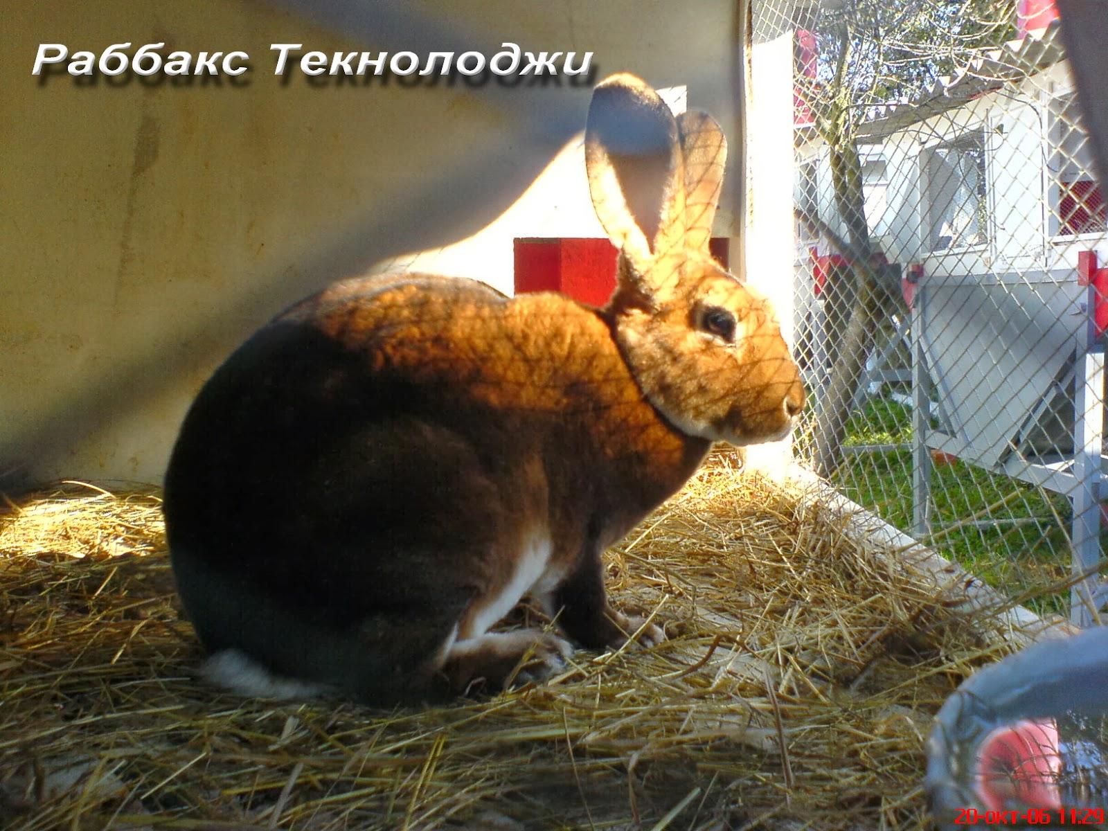 Котикові породи кроликів