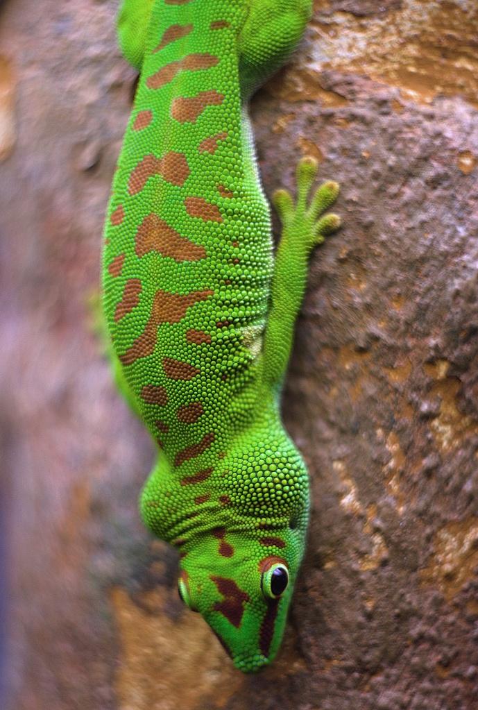 #244 Helios-44 f2 58mm – Gecko down under