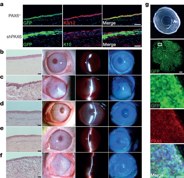 Progress to regrowing parts of the eyes as rabbit corneas created from stem cells to restore sight in blind rabbits