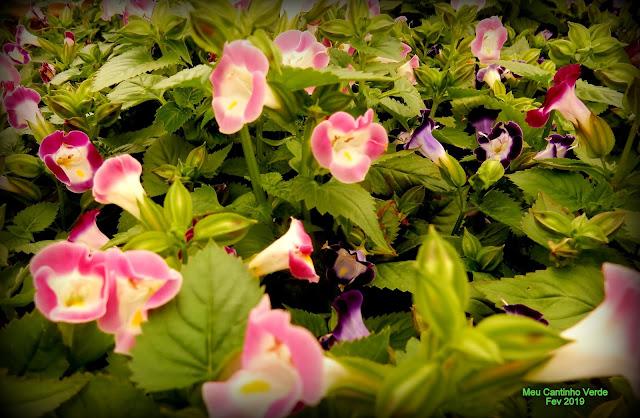Como plantar TORÊNIA - ( Torenia fournieri )