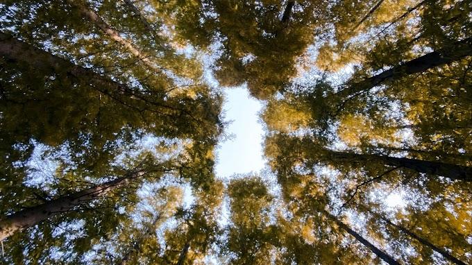 Papel de Parede Grátis Árvores Vista de Baixo