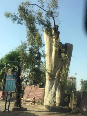 أشجار الكافور المعمّرة بكورنيش النيل بالعجوزة- قبل وبعد ازالتها
