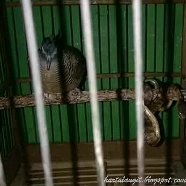 gambar burung perkutut dan ular