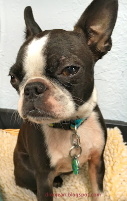 Sinead the Boston terrier giving me the stink eye