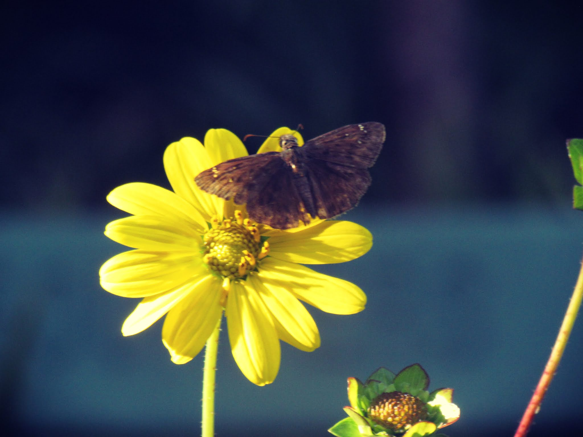 A yellow butterfly botanical with a brown spotted butterfly in Florida's Hammock Park in Dunedin, Florida