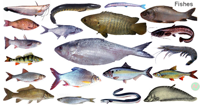Learn fishes name with picture necessary vocabulary for 7 fishes list