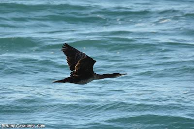Corb marí emplomallat (Phalacrocorax aristotelis)