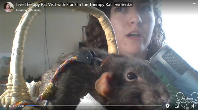 Abby and Franklin doing a live therapy rat visit on Facebook