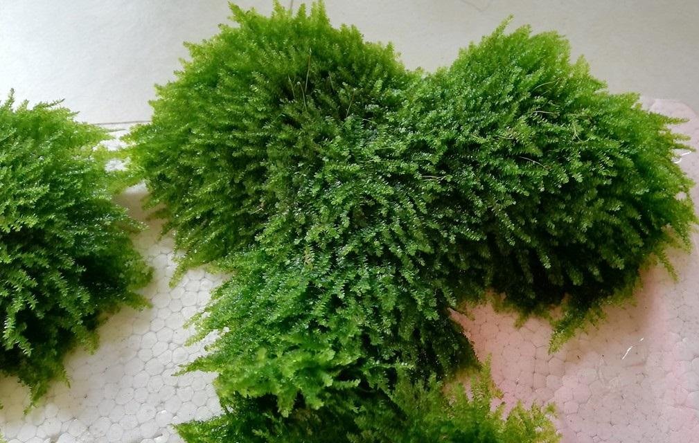 Cận cảnh rêu thủy sinh mini taiwan